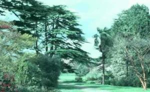 Cedar of Lebanon, Bute Park
