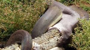 Snake-eats-Crocodile